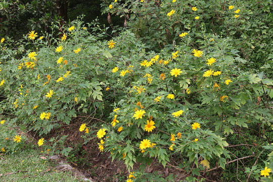 Đẹp nao lòng rừng hoa dã quỳ dưới chân núi Tản - Ảnh 1.