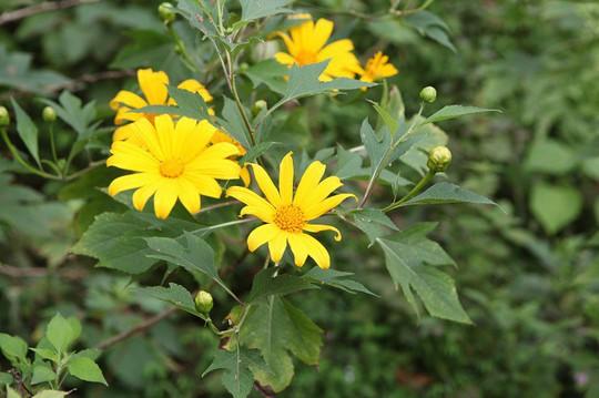 Đẹp nao lòng rừng hoa dã quỳ dưới chân núi Tản - Ảnh 2.