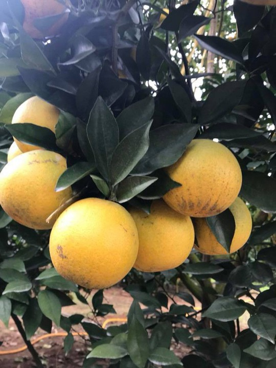 Siêu độc: Cây cam Vinh có 1.000 quả - Ảnh 1.