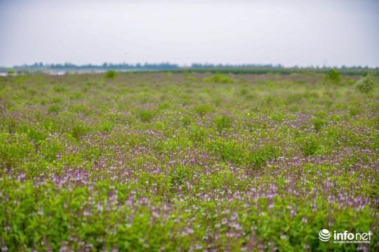 Thực hư cánh đồng hoa Lavender ở ngoại ô Hà Nội - Ảnh 2.
