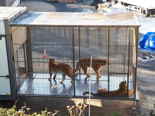 Hổ xổng chuồng gây náo loạn đường phố Paris - Ảnh 2.