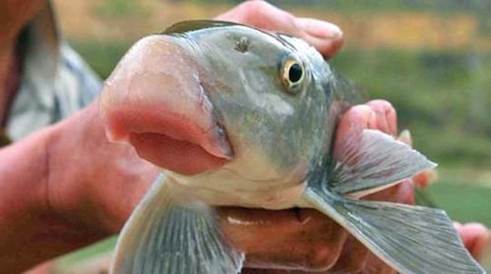 Những loài cá tiến vua đắt đỏ nhưng vẫn được săn lùng - Ảnh 1.