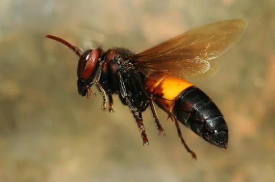 Tò mò nếm thử… ong vò vẽ cực độc ở miền Tây - Ảnh 1.