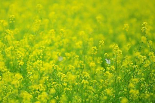 Đi chụp ảnh thôi, hoa cải đã nở vàng rực rỡ rồi kìa! - Ảnh 2.