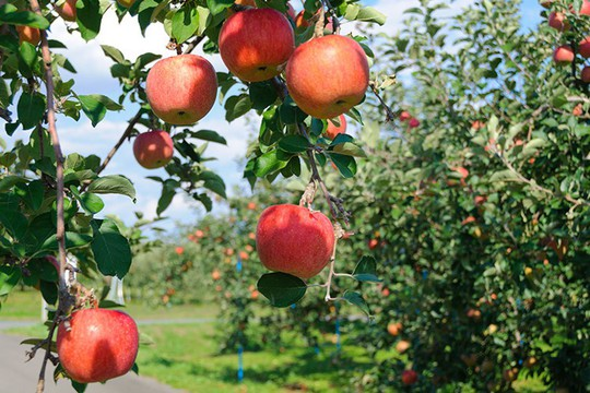 Đột nhập vườn táo Aomori Nhật Bản đã có bán ở Việt Nam - Ảnh 2.