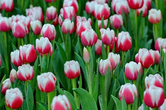 Lạc lối giữa ngàn hoa Tulip tại Vinpearl Land Nha Trang - Ảnh 1.