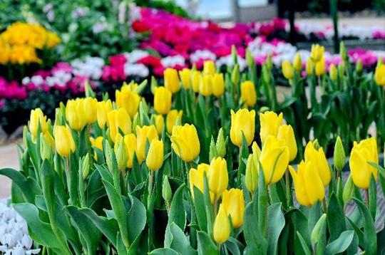 Lạc lối giữa ngàn hoa Tulip tại Vinpearl Land Nha Trang - Ảnh 2.