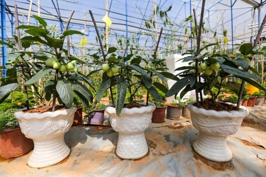 Dịp Tết, anh Định còn thử nghiệm trồng 800 chậu dưa để làm cảnh.