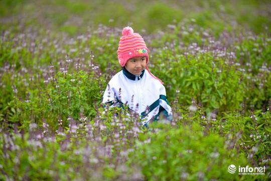 Thực hư cánh đồng hoa Lavender ở ngoại ô Hà Nội - Ảnh 11.