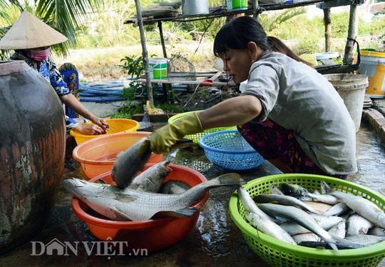 Cá sau khi được đem vào nhà sẽ được phân loại