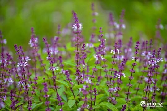 Thực hư cánh đồng hoa Lavender ở ngoại ô Hà Nội - Ảnh 12.