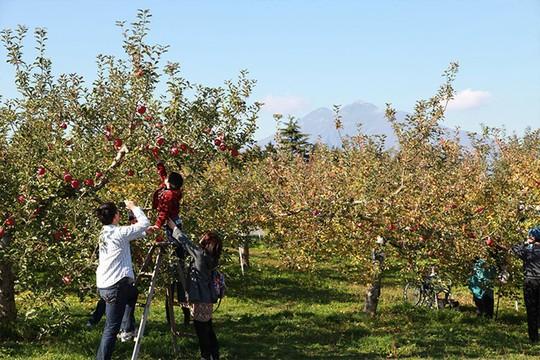 Đột nhập vườn táo Aomori Nhật Bản đã có bán ở Việt Nam - Ảnh 12.