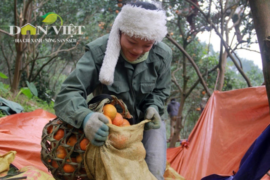 Sau khi cam được trẩy xuống bạt sẽ được đóng bì, sọt để vận chuyển xuống chân núi bán cho thương lái, với giá 12.000 – 15.000 đồng/kg