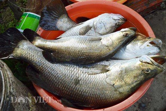 Những con cá chẽm này có trọng lượng từ 3-5kg, bán được giá cao