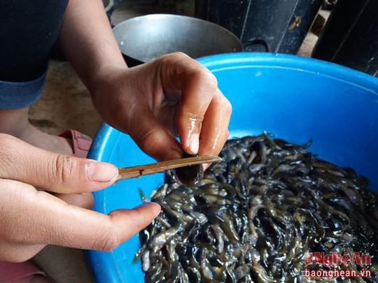 Nòng nọc chỉ sống trong môi trường nước sạch, không hóa chất nên người dân rất yên tâm khi chế biến làm thức ăn. Nòng nọc có thể dùng chế biến ra nhiều món ăn như: Nấu canh chua, lam, sào, bọc lá chuối nướng