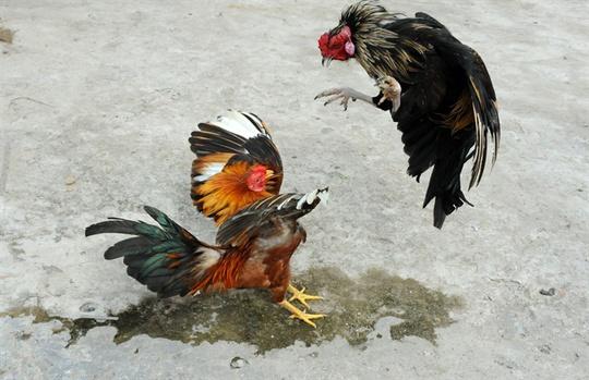 Mỗi thế đá của con gà đều có một bản lĩnh riêng