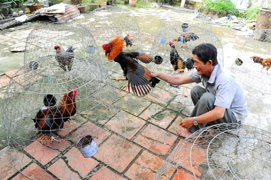 Ngoài lúa ra, người sành điệu còn cho gà ăn thêm giun, thằn lằn, dế, lòng đỏ trứng, thịt bò, tép… để bồi dưỡng và tăng cường sức chiến đấu cho chúng