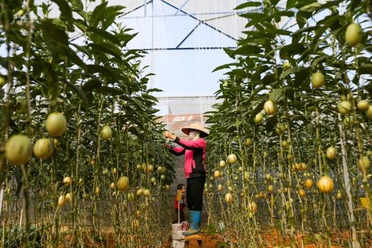 Theo thông tin từ Phòng Nông nghiệp (UBND TP Đà Lạt), anh Định là hộ nông dân đầu tiên tại Đà Lạt trồng thành công giống dưa này. Hiện anh có khoảng 1.000m2 trồng dưa với gần 4.000 cây.
