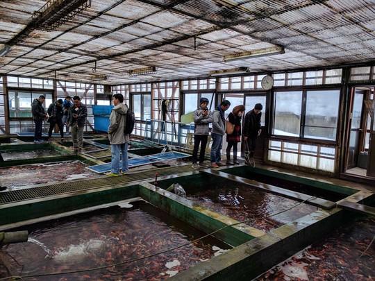 Tới thủ phủ cá koi ở Nhật Bản