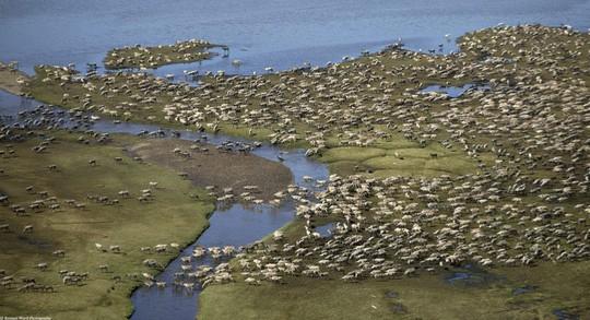 Những cuộc di cư ngoạn mục trong thế giới động vật - Ảnh 3.