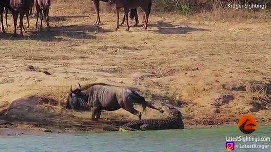 Hà mã cứu linh dương thoát khỏi cá sấu - Ảnh 4.