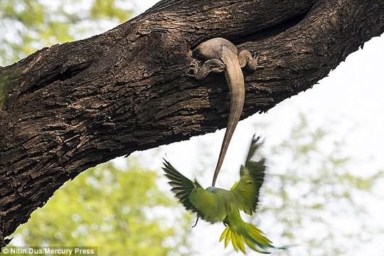 Xúc động tình mẫu tử của loài chim vẹt đuôi dài - Ảnh 3.