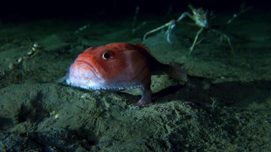 """Sửng sốt phát hiện cá có chân đang """"đi dạo"""" dưới đáy biển - Ảnh 1."""