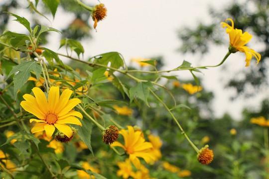 Mê mẩn những cung đường hoa dã quỳ đẹp nhất Việt Nam - Ảnh 3.