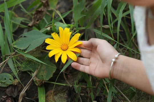 Đẹp nao lòng rừng hoa dã quỳ dưới chân núi Tản - Ảnh 3.