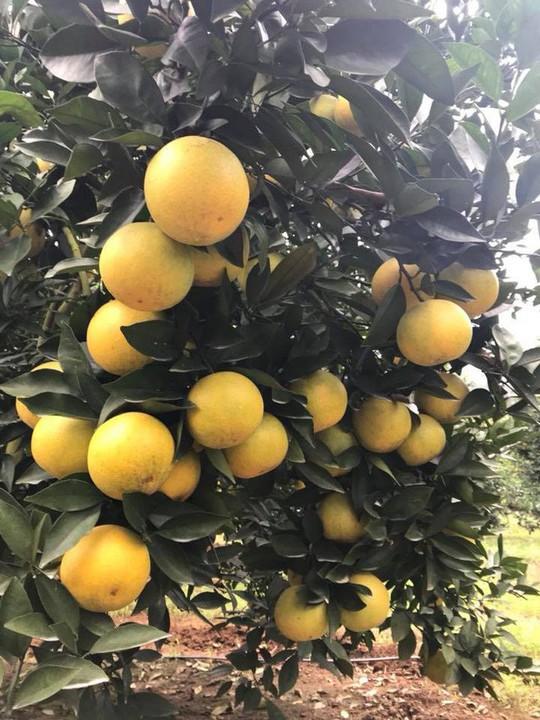 Siêu độc: Cây cam Vinh có 1.000 quả - Ảnh 3.