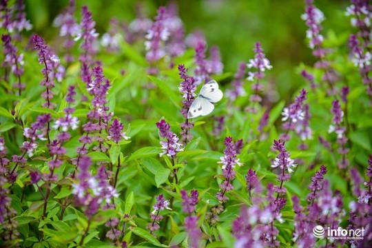 Thực hư cánh đồng hoa Lavender ở ngoại ô Hà Nội - Ảnh 3.