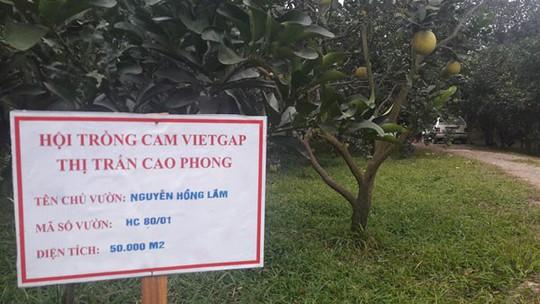 Cam Cao Phong còn 20.000 đ/kg, lo vỡ trận vì diện tích tăng cao - Ảnh 3.