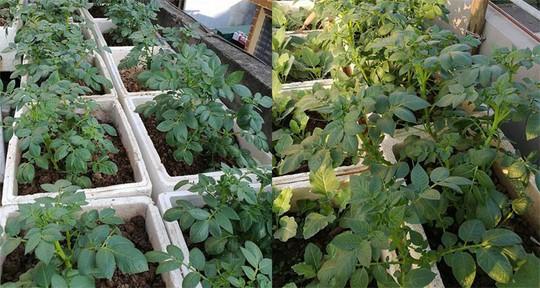 Khoai tây, bắp cải dày đặc trên mái nhà ở Hà Nội - Ảnh 3.