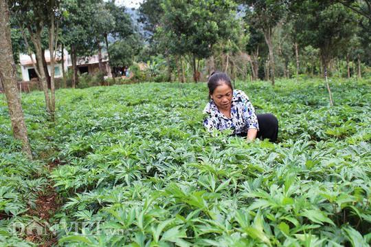 Suýt bị vợ bỏ vì mê trồng sâm, giờ ung dung đút túi nửa tỷ/năm - Ảnh 1.