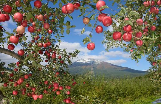 Đột nhập vườn táo Aomori Nhật Bản đã có bán ở Việt Nam - Ảnh 3.
