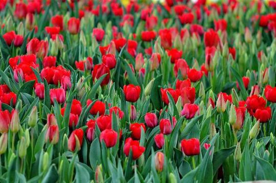 Lạc lối giữa ngàn hoa Tulip tại Vinpearl Land Nha Trang - Ảnh 3.