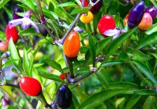 Sướng mắt với cây ớt độc và đẹp lạ lùng - Ảnh 8.
