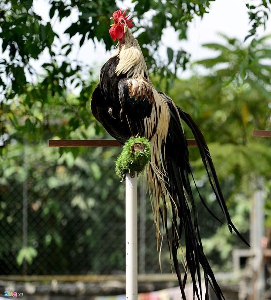 Điểm khác đặc biệt là khi gà trống trưởng thành có bộ đuôi dài. Ước tính mỗi năm đuôi gà dài thêm 1-1,5 m tùy cách chăm sóc.