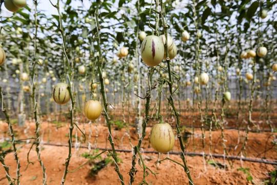 Tôi bắt đầu trồng thử nghiệm 800 gốc dưa từ cuối năm 2015. Hai vụ đầu cây cho quả ít, ăn nhạt nhưng bây giờ thì sản lượng, chất lượng ổn định. Tết này tôi sẽ bán mạnh ra thị trường, anh Định cho hay.