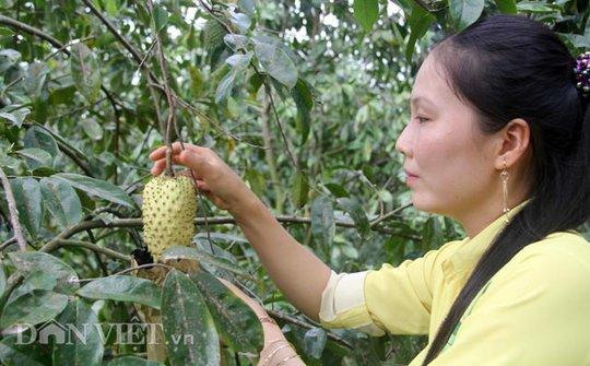 Để có trái mãng cầu da vàng đẹp mắt, nhóm nông dân xã Phú Hữu, huyện Châu Thành, tỉnh Hậu Giang đã sử dụng túi bao trái, có kỹ thuật chăm sóc đặc biệt, bón phân hợp lý