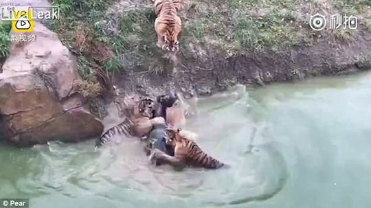 Du khách sốc cảnh cọp xé xác lừa trong sở thú Trung Quốc - Ảnh 4.