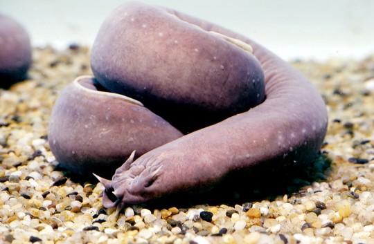 8 sinh vật kỳ dị dưới đáy đại dương - Ảnh 4.
