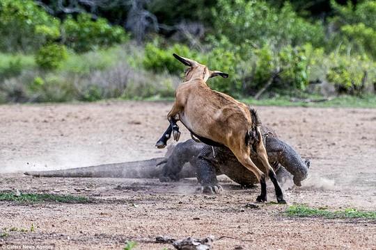 Chùm ảnh rồng Komodo tấn công con mồi - Ảnh 4.