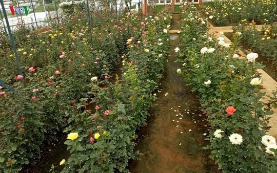 Ngắm ngàn hoa đua sắc tại làng hoa nổi tiếng ở Đà Lạt - Ảnh 4.