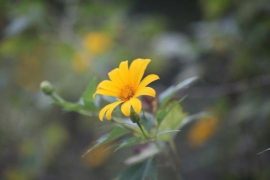 Đẹp nao lòng rừng hoa dã quỳ dưới chân núi Tản - Ảnh 4.