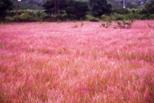 Đồi cỏ hồng đẹp như tranh hút khách ngày đầu đông - Ảnh 4.