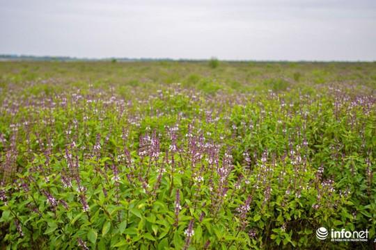 Thực hư cánh đồng hoa Lavender ở ngoại ô Hà Nội - Ảnh 4.