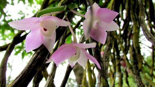 Chiêm ngưỡng hoa phong lan rừng Sa Pa - Ảnh 4.
