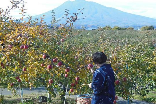 Đột nhập vườn táo Aomori Nhật Bản đã có bán ở Việt Nam - Ảnh 4.