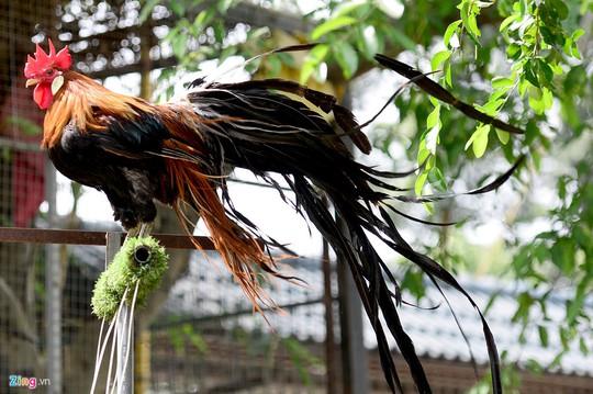 Gà Onagadori độc đáo ở phần lông phụng, lông măng cũng như lông mã phát triển suốt đời. Đây cũng là bộ phận mang lại vẻ đẹp cuốn hút và giá trị của giống gà này.